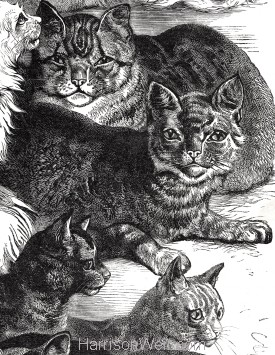 1873 (Sept) Crystal Palace Cat Show Prize Cats