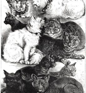 1872 (Sept) Crystal Palace Cat Show Prize Cats by Harrison Weir