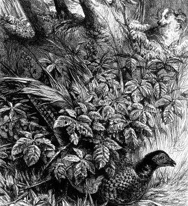1873 Pheasant in Covert by Harrison Weir