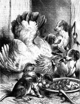 1873 Hen Feeding Pups by Harrison Weir
