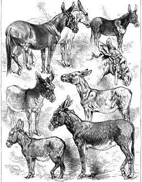1874 Prize Winners. The Donkey Show at the Crystal Palace by Harrison Weir