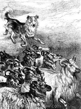 1876 Collet Dog Herding by Harrison Weir