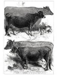 1876 Prize Cows, The Dairy Show, Agricultural Hall, by Harrison Weir