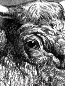 Detail: 1876 Short Horn Bull by Harrison Weir