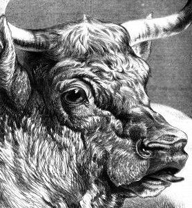 1876 Shorthorn Bull by Harrison Weir