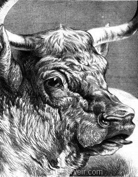 1876 Shorthorn Bull by Harrison Weir