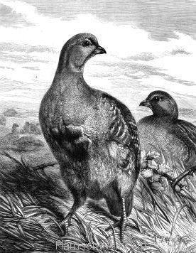 1876 Grouse by Harrison Weir