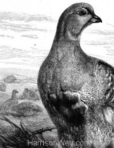 Detail: 1876 Grouse by Harrison Weir