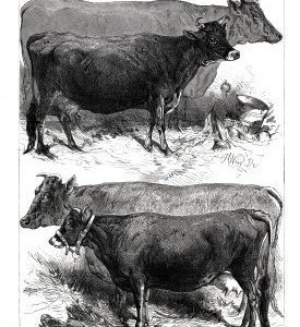 1876 Prize Cows at The Dairy Show by Harrison Weir