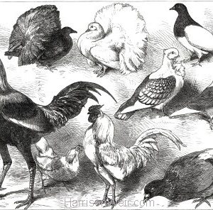 1877 The Birmingham Poultry Show, Prize Birds