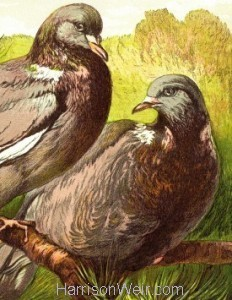 Detail: 1877 Wood Pigeons by Harrison Weir