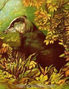 1877 The Badger by Harrison Weir