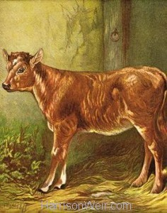 1877 The Calf by Harrison Weir