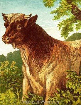 1877 The Ox by Harrison Weir