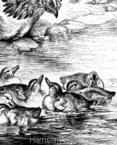 1878 The Hen and her Ducklings by Harrison Weir