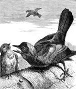 1878 A Greedy Jackdaw, by Harrison Weir