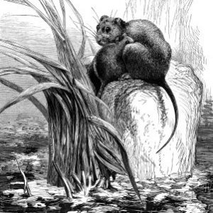 1878 A Mother Water-Rat, by Harrison Weir