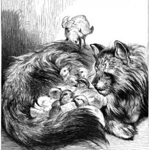 1871 Angora Tom nursing chickens, by Harrison Weir