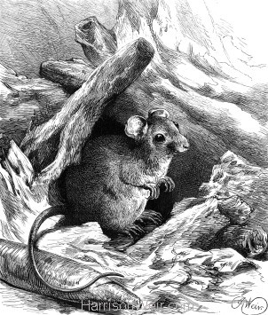 1878 An expensive Mouse Nest, by Harrison Weir