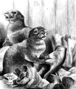 1878 Beavers, by Harrison Weir