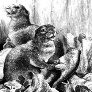 1878 Beavers, by Harrison Weir