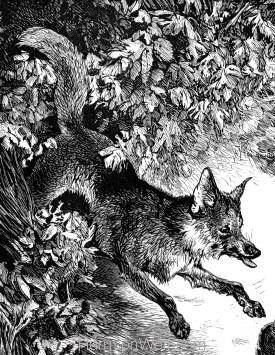 Detail: Boldness of a Vixen Fox, by Harrison Weir
