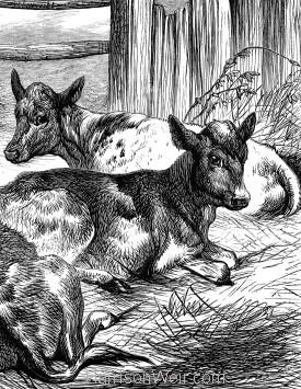 Detail: Calves, by Harrison Weir