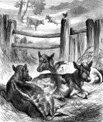 1878 Calves, by Harrison Weir