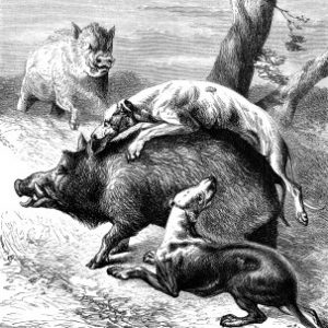 1878 Dogs Hunting the Wild Boar, by Harrison Weir