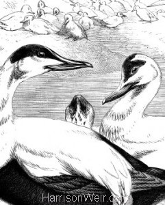 Detail: Eider Ducks, by Harrison Weir