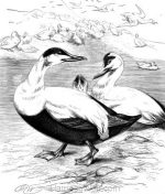 1878 Eider Ducks, by Harrison Weir