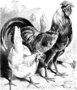 1878 Ferdinand, by Harrison Weir