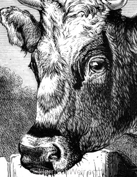 Detail: Fairy, an Alderney Cow, by Harrison Weir