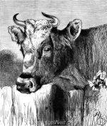 "1878 ""Fairy"" an Alderney Cow, by Harrison Weir"