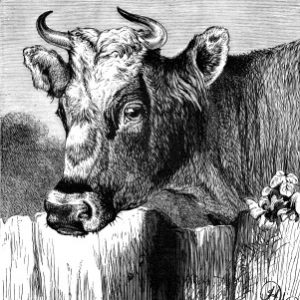 "1878 ""Fairy"" an Alderney Cow, by Harrison Weir"