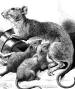 1873 Mother-love in a Rat, by Harrison Weir