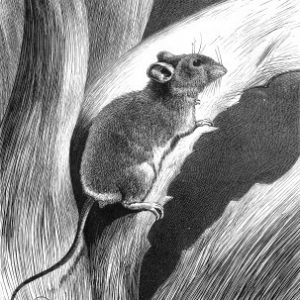 1878 Mouse climbing up Aloe plant, by Harrison Weir