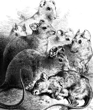1878 - Rats, by Harrison Weir