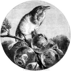 1878 Robin on the Apples, by Harrison Weir