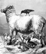1878 Sheep and Ducklings, by Harrison Weir