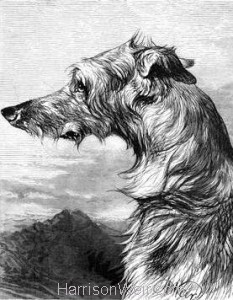 1878 Scottish Deer Hound by Harrison Weir