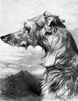 1878 Scottish Deer Hound by Harrison Weir