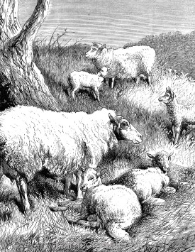 Detail: Sheep and Lambs, by Harrison Weir
