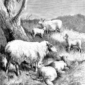 1878 Sheep and Lambs, by Harrison Weir