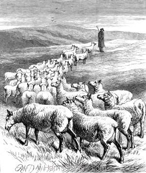 1878 Sheep following the Shepherd, by Harrison Weir