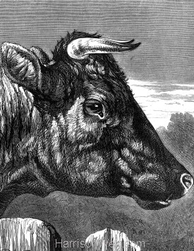 Detail: Shorthorn Cow, by Harrison Weir