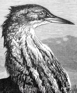 Detail: The Bittern, by Harrison Weir