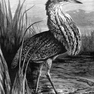 1878 The Bittern, by Harrison Weir