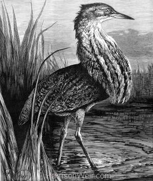 1878 The Bittern, by Harrison Weir