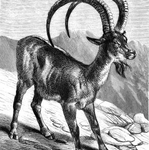 1878 The Ibex, by Harrison Weir